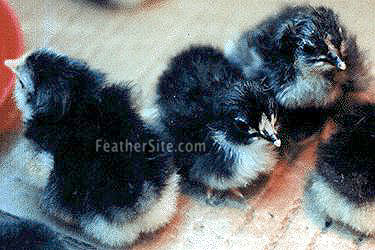 Java Chicks Picture from Feathersite.com