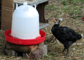 chicks 3