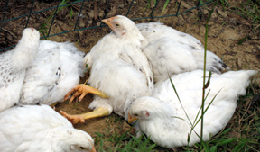 Heritage Breed, Delaware chicks, taking a dust bath